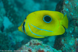 BD-130711-Maldives-0176-Chaetodon-bennetti.-Cuvier.-1831-[Bluelashed-butterflyfish].jpg